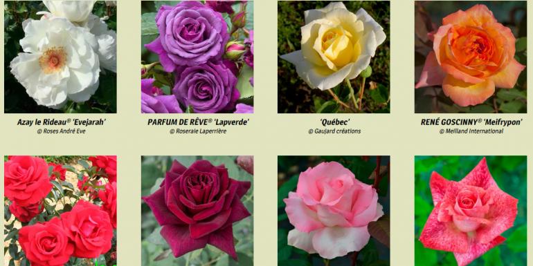 Rénovation de la collection de Madame Gravereaux - exemples de roses