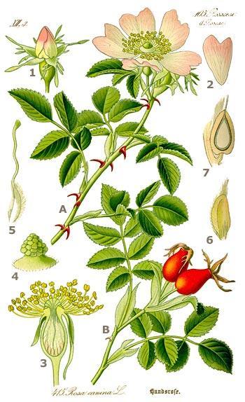 """Illustration """"Rosa canina"""" de Flora von Deutschland"""