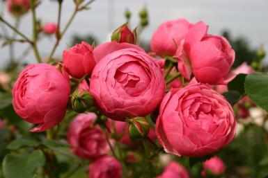 premier prix en 2010 dans la catégorie buisson à fleurs groupées
